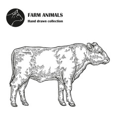 hand drawn bull cattle isolated on white vector image