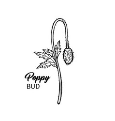 poppy bud freehand black ink sketch vector image