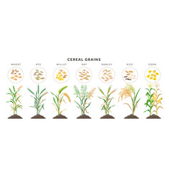 Cereal grains with seeds - set icons vector