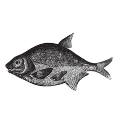 Freshwater fish engraving vector