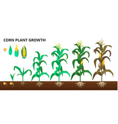 corn plant growth farm and agriculture steps vector image