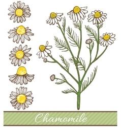 Hand drawn chamomile vector
