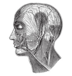 Superficial nerves of the head vintage vector