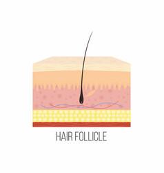Hair follicle human skin layers with hair vector
