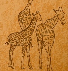 three giraffes vector image vector image