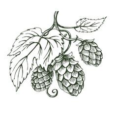 outline sketch of hops branch vector image vector image