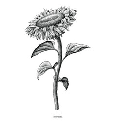 Sunflower hand drawing black and white vintage vector