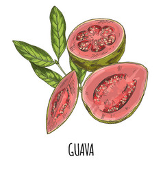 Guava full color realistic hand drawn vector