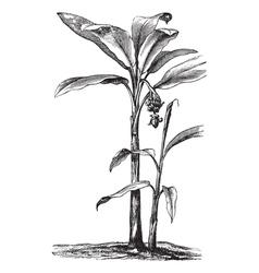 Banana vintage engraving vector image