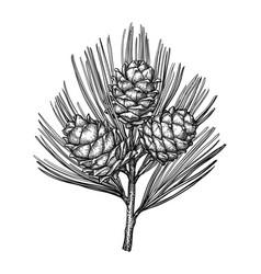 Ink sketch of pine nut vector