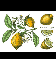 Hand drawn citrus fruits - lemon branch sketch of vector