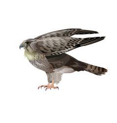 Falcon spreading wings vector