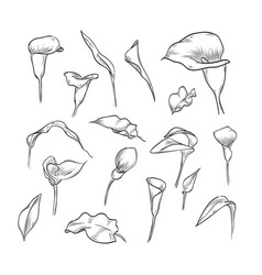 hand drawn elegant callas vector image