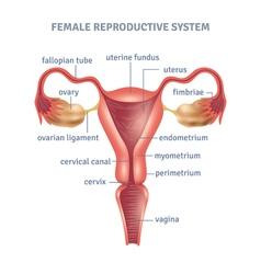 Uterus Poster vector