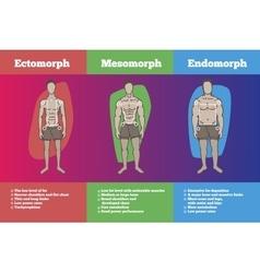 men body somatotypes vector image