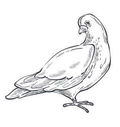 dove or pigeon isolated animal sketch bird peace vector image