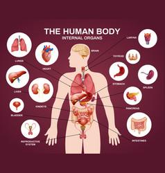 internal human organs silhouette composition vector image
