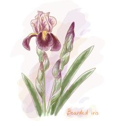 Bearded iris Watercolor imitation vector image