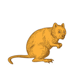 Quokka drawing color vector