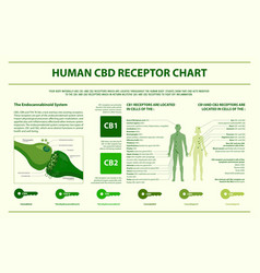 Human cbd receptor chart horizontal infographic vector