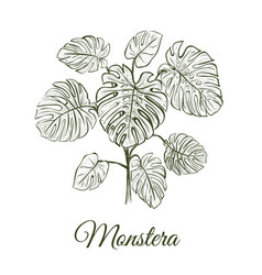 monstera plant skech monstera hand drawing vector image