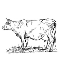 Hand drawn cow on white backgrounddesign elements vector