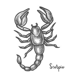 scorpion sketch or hand drawn scorpio zodiac sign vector image