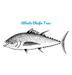 River and lake fish atlantic bluefin tuna sea vector