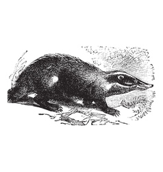 European Badger vintage engraving vector image