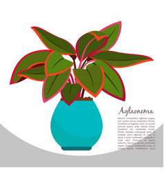 aglaonema indoor plant in pot banner vector image