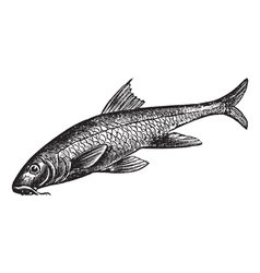 Common Barbel Vintage engraving vector