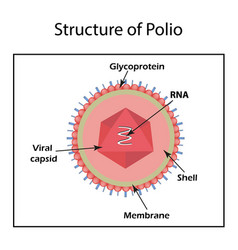 The structure of the polio virus enterovirus vector