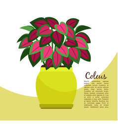 coleus plant in pot banner vector image
