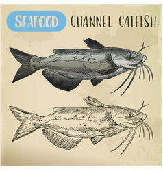 Channel catfish sketch seafood and fish vector