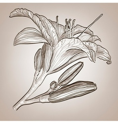 Sketch of a Lily Flower vector
