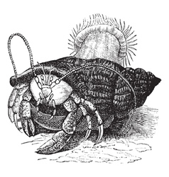 Hermit crab vintage engraving vector image