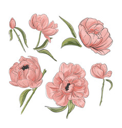 Tender pink peony decoration hand-drawn garden vector
