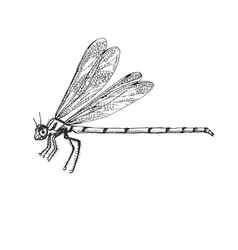 odonata insect bug beetle in vintage old hand vector image