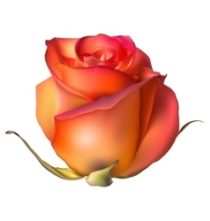 Orange Rose Flower isolated EPS 10 vector image