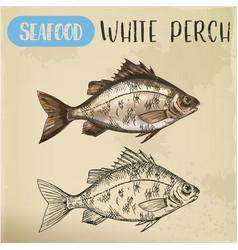 sketch of perch or european perca fish seafood vector image