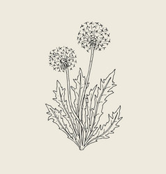 Beautiful drawing of dandelion plant with ripe vector