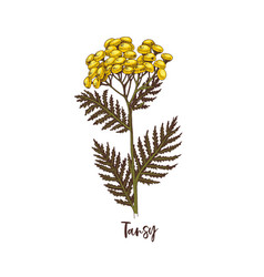 branch tansy medicinal herb vector image