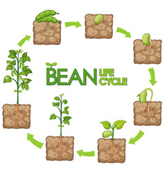 Diagram showing how plants grow from seed to beans vector