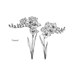 Freesia flower drawing vector