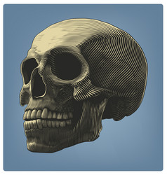 human skull in engraving style vector image