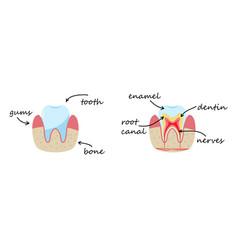 Demonstration poster gums bone enamel dentin vector