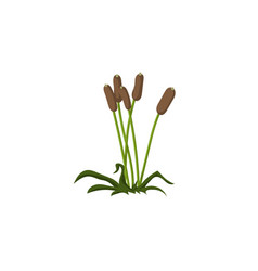 reeds on isolated white background flat vector image