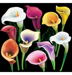 Calla flowers set in different colors vector image vector image