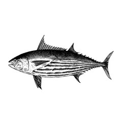 Striped skipjack tuna fish collection vector