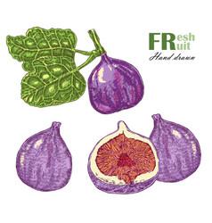 fig plant isolated on white background fruit vector image